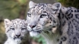 GERMANY -- The snow leopard mum Siri with her cub Barid in their enclosure in the Cologne Zoo, Cologne, Germany, 13 August 2015