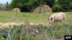 В трех районах Южной Осетии наблюдается распространение африканской чумы свиней