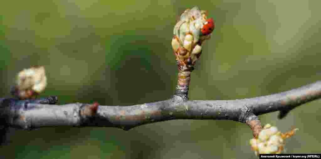 Через кілька днів груша пишно зацвіте