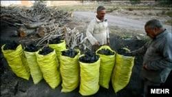 درختهای بلوط زاگرس که زغال شدند
