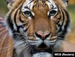Тигрица Надя в зоопарке Бронкса. Один из тигров, заразившихся COVID-19