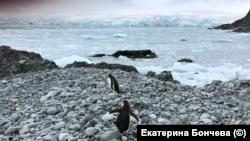 Пингвины в Антарктиде, январь 2020 г.