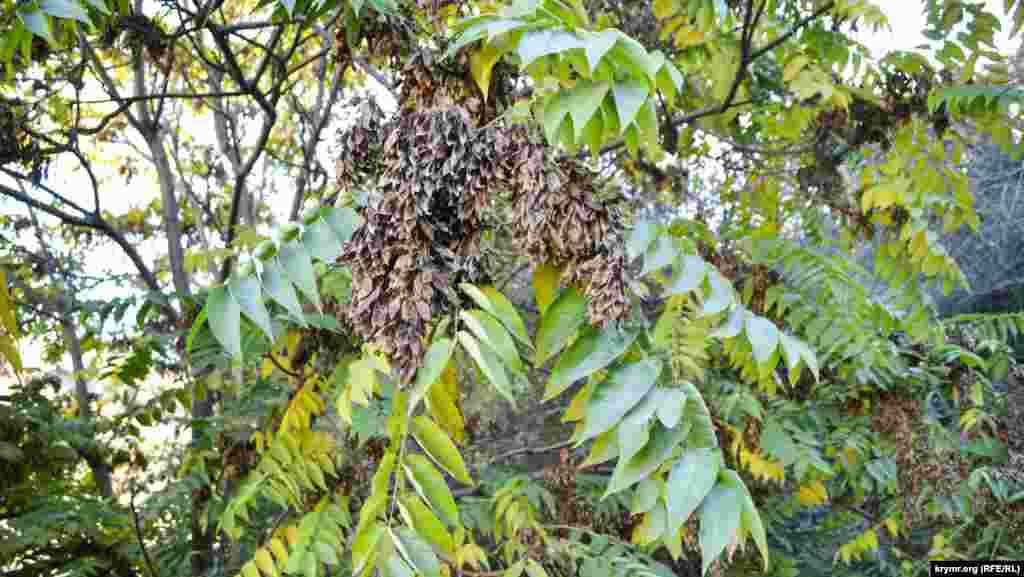 Kürüç tereginiñ yapraqları daa yeşil, urluqları ise endi qurudı ve yaqınlarda tökülecek
