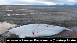 Белуха, застрявшая на мели возле Охотского моря, изранилась, пытаясь добраться до детеныша