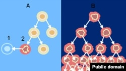 Механизм развития раковых заболеваний. Когда повреждается нормальная клетка (2), организм ее устраняет (1) (рис. А). Поврежденные раковые клетки начинают неограниченно делиться (рис. В).