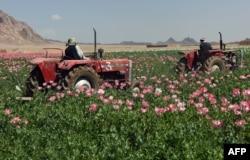 Uništavanje nelegalnog polja opijumskog maka kod Kandahara, april 2017.