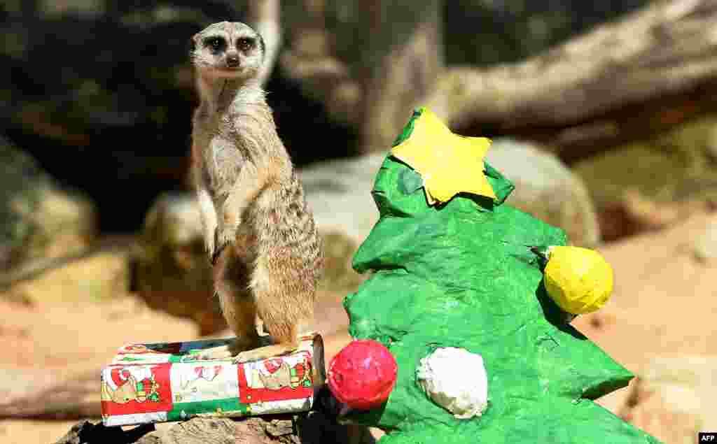 Сурикат у зоопарку Сіднея охороняє свій подарунок