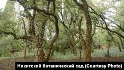 Роща пробкового дуба в Никитском ботаническом саду