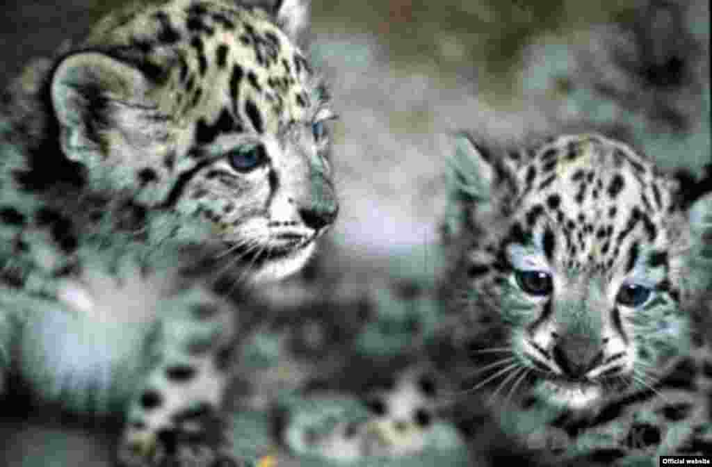 Snow leopard cubs at a facility in the Kyrgyz capital, Bishkek.