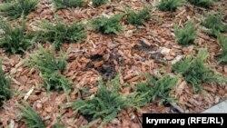 С клумбы на площади Лазарева в Севастополе исчезли кусты низкорослого можжевельника, 29 марта 2020