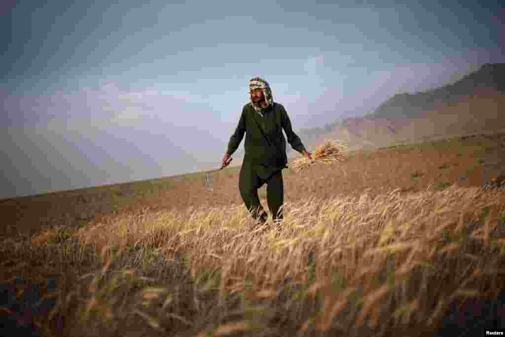 An Afghan man harvests wheat on the outskirts of Kabul. (Reuters/​Ahmad Masood)