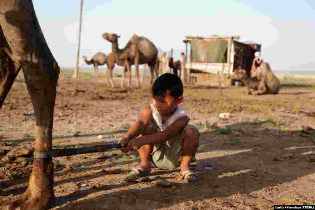 Bakytbek holds the camel's back leg, while his mother milks it.