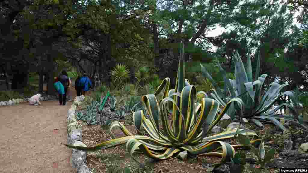 Американская агава в парке «Монтедор»