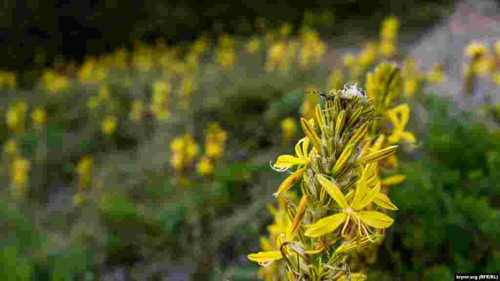 Цветет краснокнижная Асфоделина желтая (Asphodeline lutea).