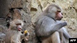 Именно Вано делает им прививки, а обезьяны, совсем как люди, ненавидят уколы