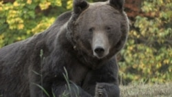 Bad News, Bears: Romanians Debate Reversing Hunting Ban