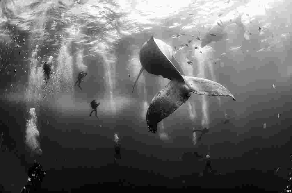 Second Prize Singles in the Nature category was won by Mexican photographer Anuar Patjane Floriuk The picture shows divers observing and surrounding a humpback whale and her newborn calf while they swim around Roca Partida in the Revillagigedo Islands. (January 28, 2015)
