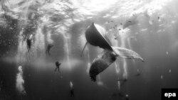 Ronioci i grbavi kit