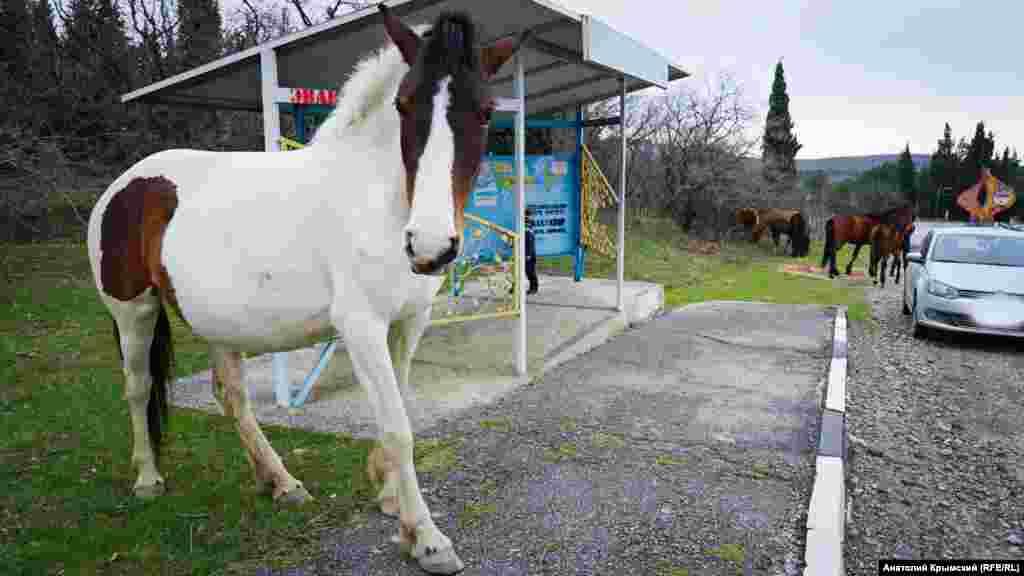Лошади, свободно прогуливающиеся у заповедного урочища Сатера – такую картину может наблюдать каждый, кто проезжает по трассе Алушта-Судак