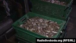 Незаконно выловленный в Азовском море бычок