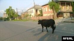 Уже больше века у сухумцев, живущих на городских окраинах, власти не могут отбить привычку выгонять скот на выпас без присмотра