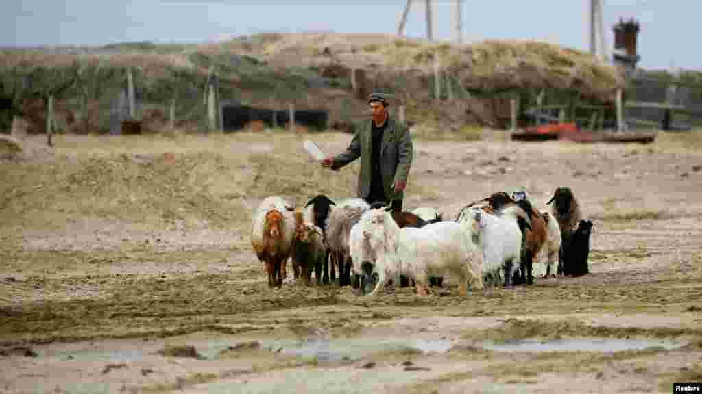 Местный житель гонит домашний скот в селе Каратерен недалеко от Аральского моря.