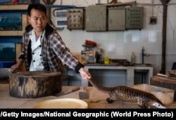 Повар в провинции Гуандун на юге Китая собирается убить панголина, чтобы приготовить его для посетителей ресторана. 4 января 2019 года
