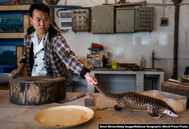 Қытайдың оңтүстігіндегі Гуандун провинциясында аспаз ресторан қонақтарына ас әзірлеу үші панголинді өлтіргелі жатыр. 4 қаңтар 2019 жыл.