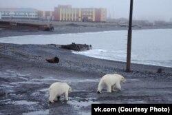Медведи рядом с поселком на архипелаге