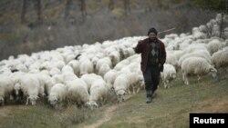 Gürcü çobanı