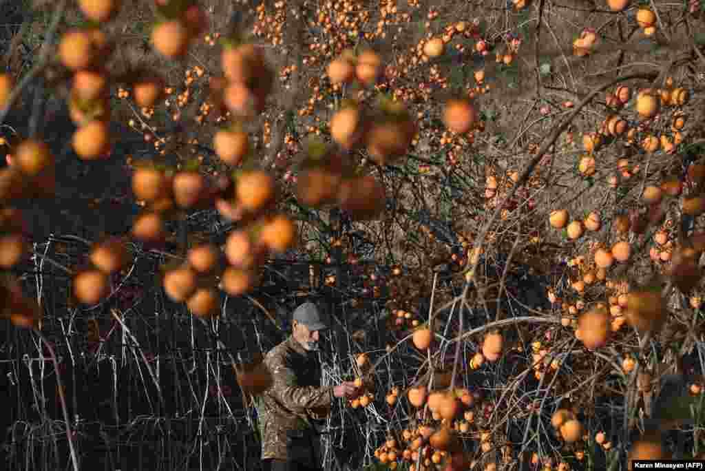 Житель Степанакерта собирает урожай хурмы.