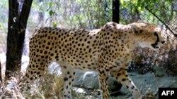 یک قلاده یوزپلنگ ایرانی در پارک پردیسان تهران