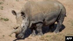 Белый носорог. Иллюстративное фото.