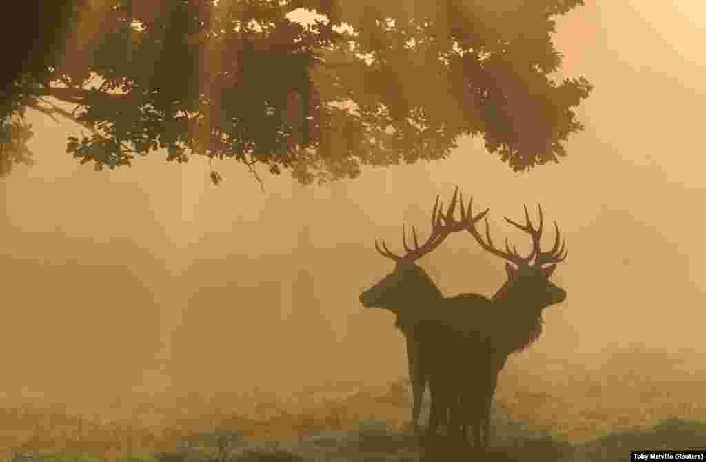 Two stags are seen through the mist at dawn during the annual rutting season in Richmond Park in London. (Reuters/Toby Melville)