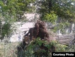 Поваленное ураганом дерево возле разбитого хлебозавода