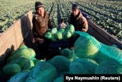 Labor migrants from Kyrgyzstan harvest cabbage in a field outside the Siberian village of Beryozovka near Krasnoyarsk in October.