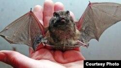 За даними Мінекології, нині багато видів кажанів перебувають на межі зникнення