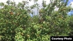 Фруктовый сад Саидшох Каландарова под Рязанью