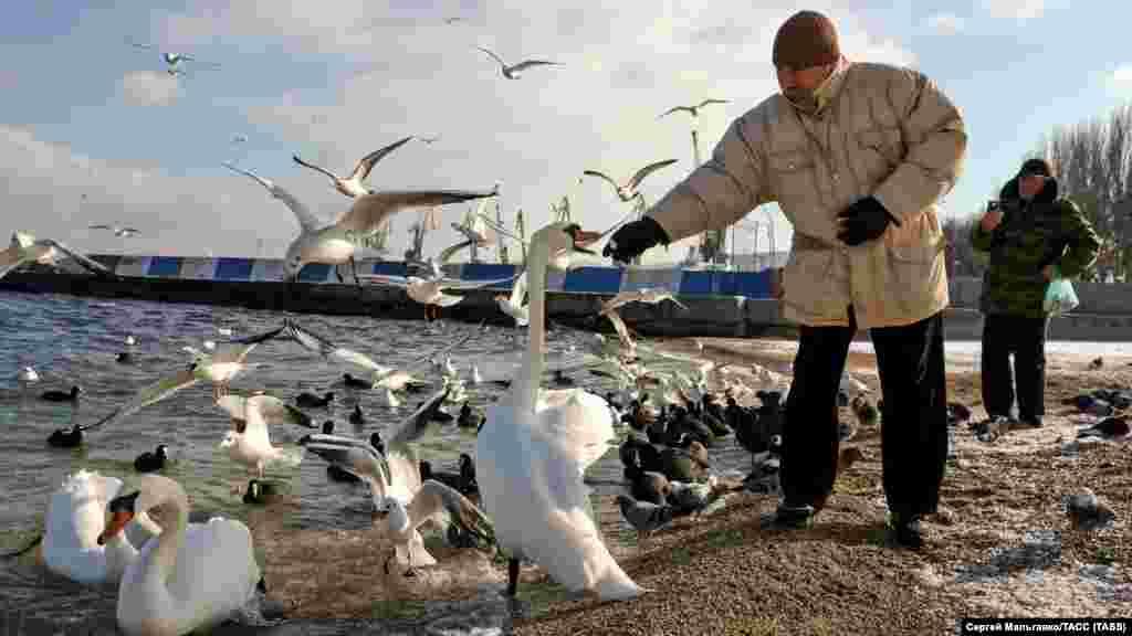 Мужчина кормит лебедей на берегу Черного моря в Феодосии