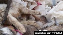 Отловленные и умерщвленные кошки, Ашхабад, январь, 2019.