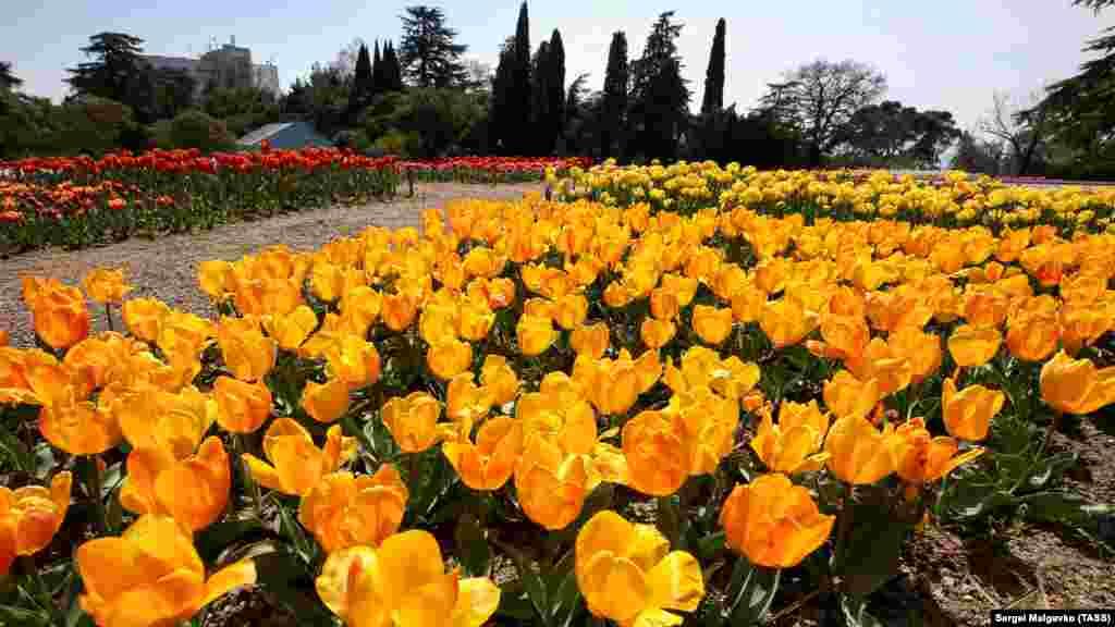 В этом году высадили сто тысяч луковиц тюльпанов разных сортов