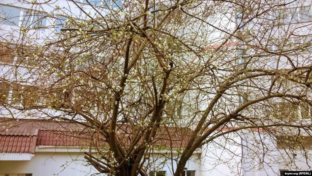 В начале марта в Партените цветут деревья