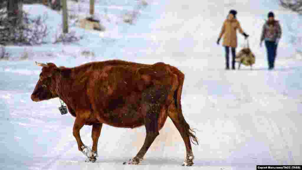 Корова на одной из улиц в селе Мичуринское Белогорского района