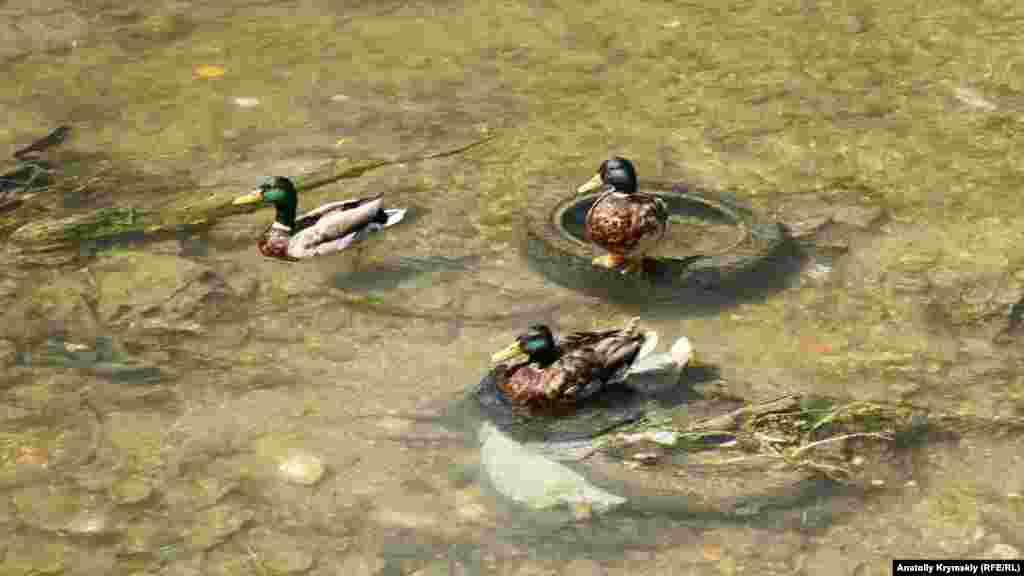 Строители обещают, что дикие утки на Салгире не пострадают