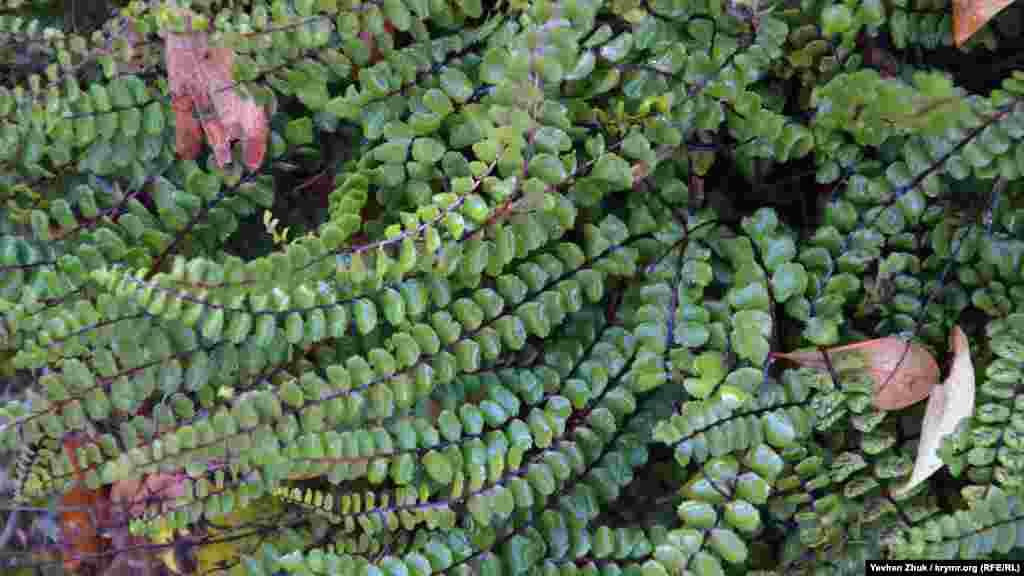 Листя цієї вічнозеленої рослини мокре від роси