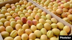 Armenia - Apricots purchased by a fruit-exporting companty from farmers in the Ararat Valley, 21Jun2013.