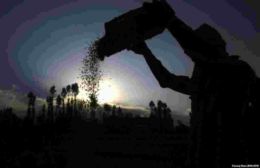 A laborer harvests rice on the outskirts of Srinagar, the summer capital of Indian Kashmir. (EPA-EFE/Farooq Khan)