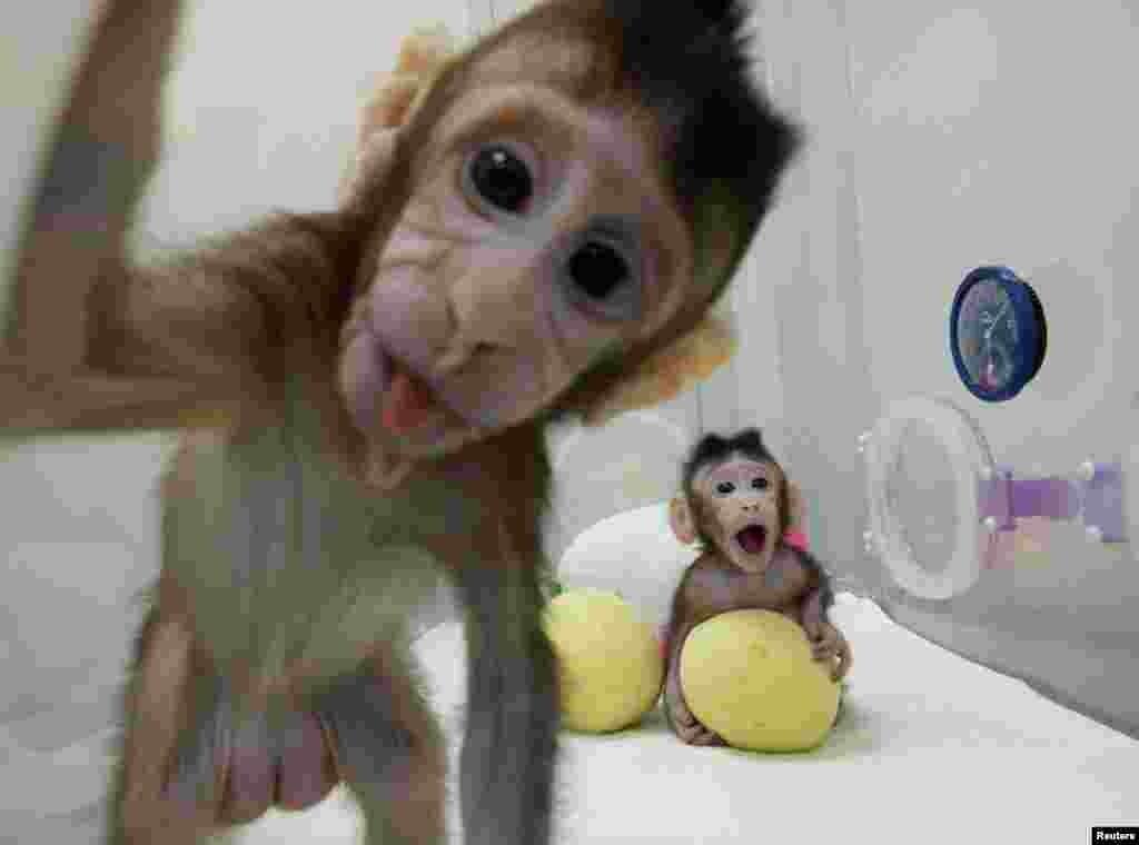 Дві довгохвості макаки, названі Хуа Хуа і Джонг Джонг, народилися в Інституті нейронауки Китайської академії наук у Шанхаї кілька тижнів тому