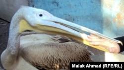 Птица пеликан. Иллюстративное фото.