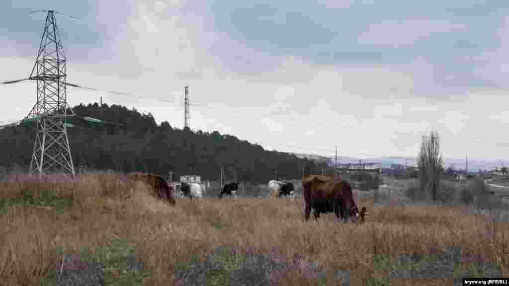 Худоба пасеться на схилі пагорба Дорт-Куль на околиці міста